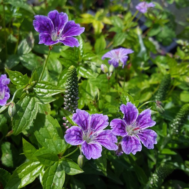 Geranium nodosum 'Clos du Coudray'. <br/>Storkenæb