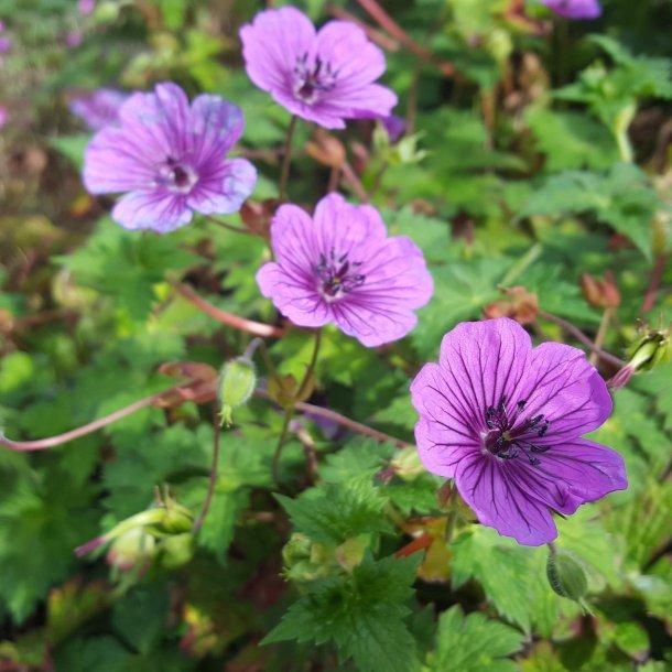 Geranium 'Daily Purple'. <br/>Storkenæb
