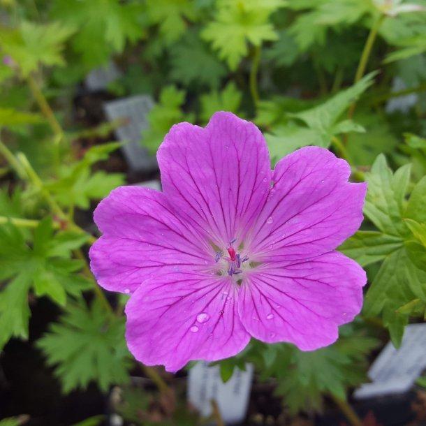 Geranium 'Deux Fleur'. <br/>Storkenæb