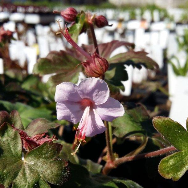 Geranium macrorrhizum 'Ingwersen's Variety'. <br/>Storrodet storkenæb