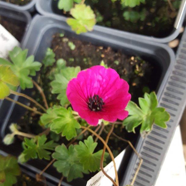 Geranium cinereum 'Jolly Jewel Red'. Storkenæb