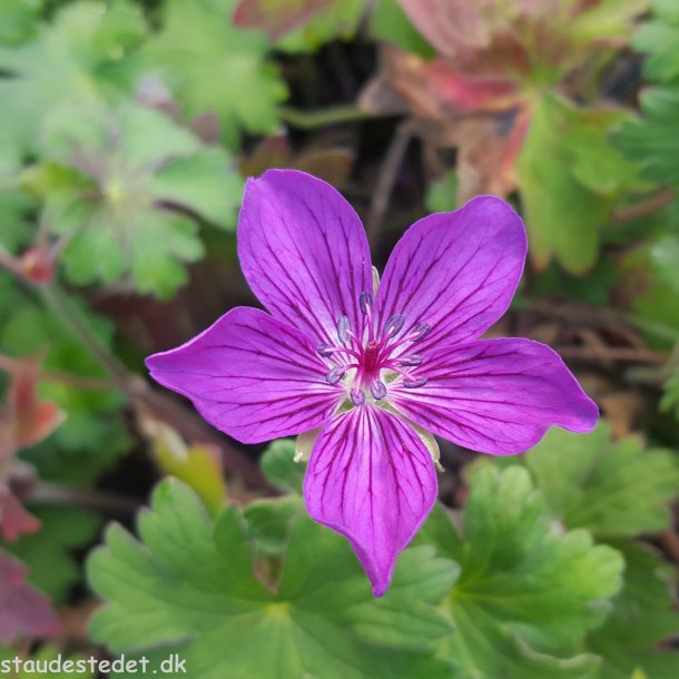 Geranium wlassovianum 'Lakwijk Star'. <br/>Storkenæb