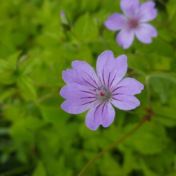 Geranium nodosum 'Svelte Lilac'. <br/>Storkenæb