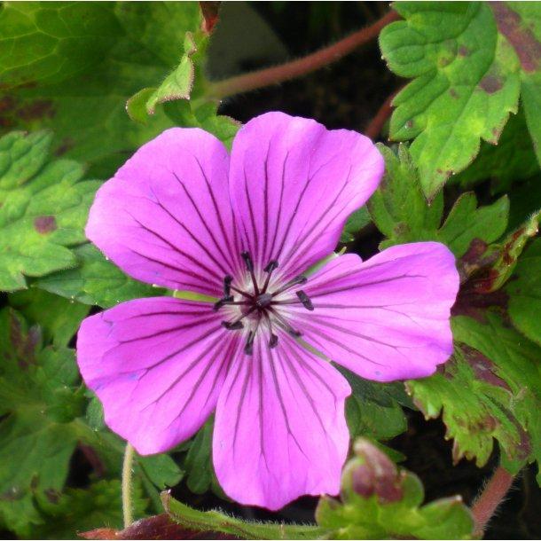 Geranium 'Pink Penny'. <br/>Storkenæb