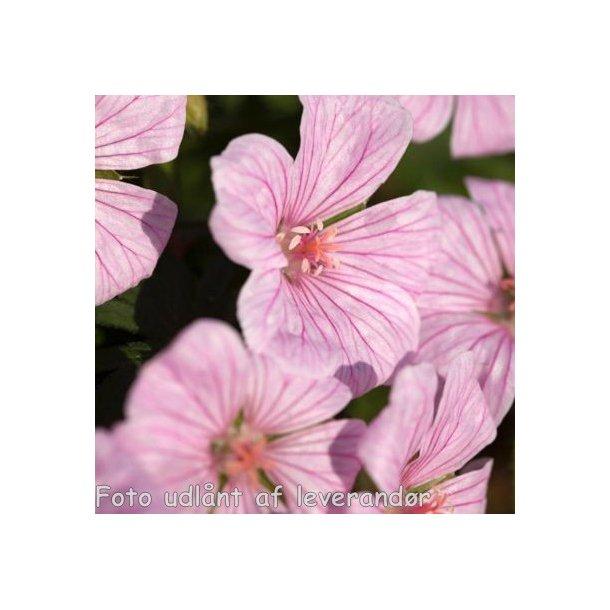 Geranium sanguineum 'Pink Pouffe'. <br/>Storkenæb