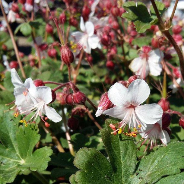 Geranium macrorrhizum 'Spessart'. <br/>Storrodet storkenæb