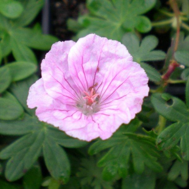 Geranium sanguineum var. striatum. <br/>Storkenæb