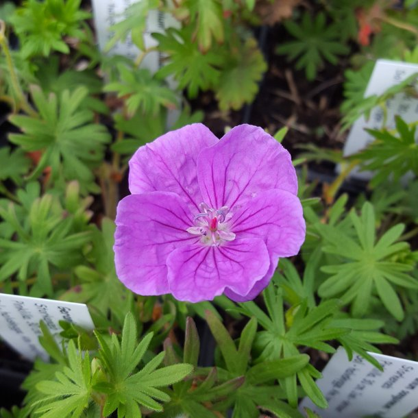 Geranium sanguineum 'Vision Violet'. <br/>Storkenæb