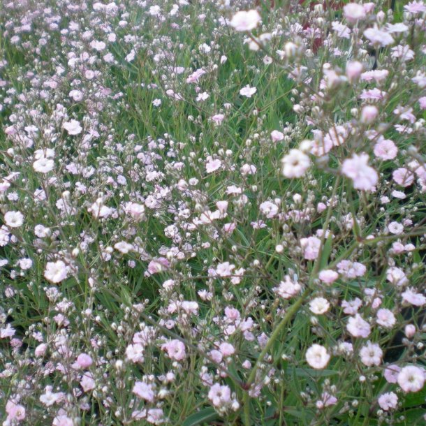 Gypsophila paniculata 'Pink Festival'. <br/>Brudeslør