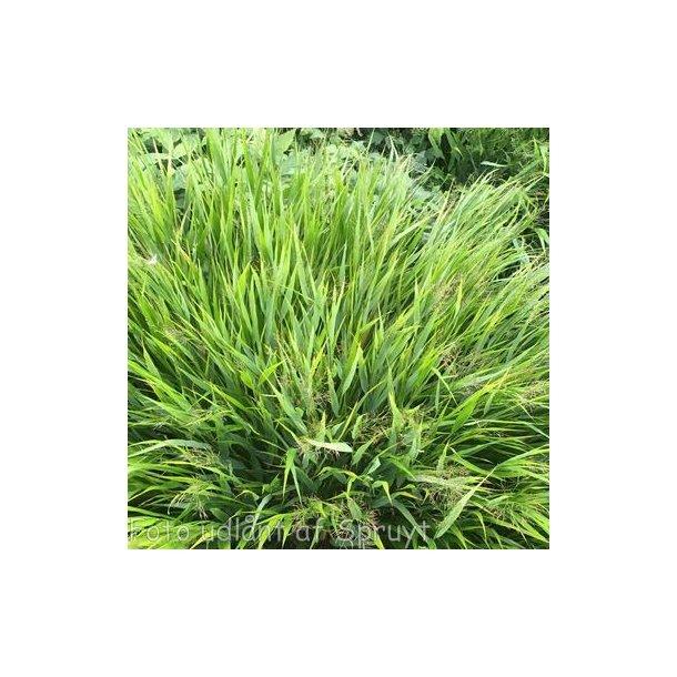 Hakonechloa macra. <br/>Japansk skovgræs