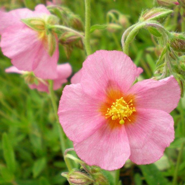 Helianthemum 'Lawrensons Pink'. <br/>Soløje