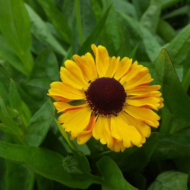 Helenium hybride 'Carmen'. <br/>Solbrud