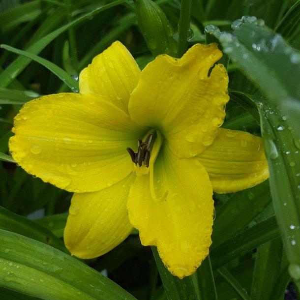 Hemerocallis 'Green Flutter'. <br/>Daglilje