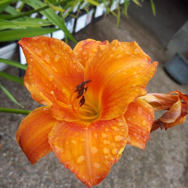 Hemerocallis 'Mauna Loa'. <br/>Daglilje