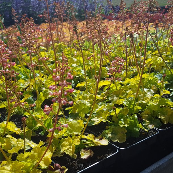 Heuchera LITTLE CUTIES 'Sweet Tart'. <br/>Alunrod