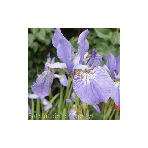 Iris sibirica 'Blue King'. <br/>Iris