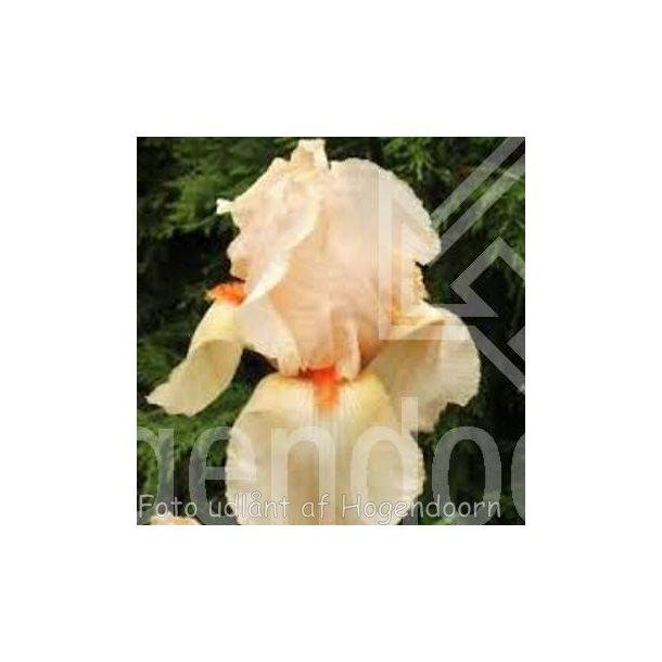 Iris germanica 'Lunar Fire'. <br/>Iris