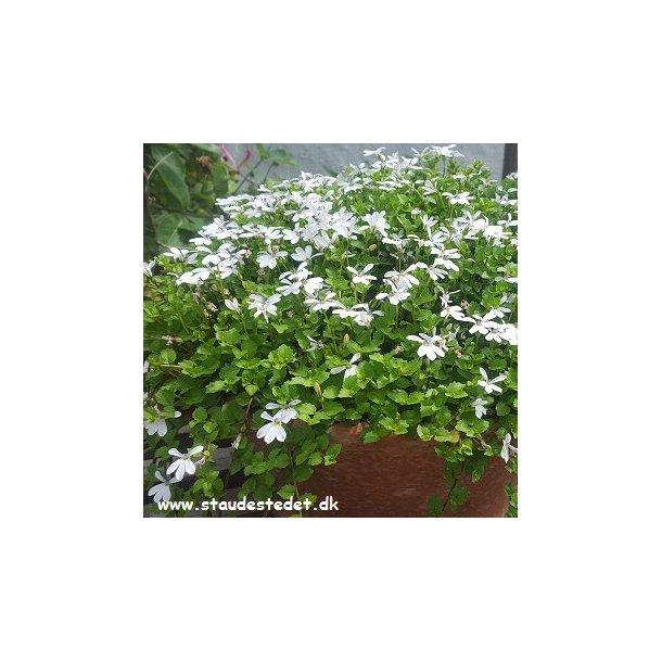 Pratia fluviatilis 'Weiss'. Blåkryb