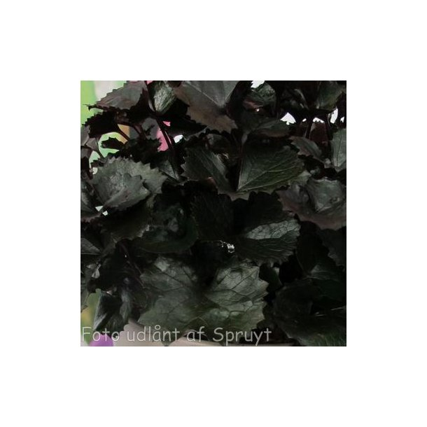 Ligularia dentata 'Pandora'. <br/>Nøkketunge
