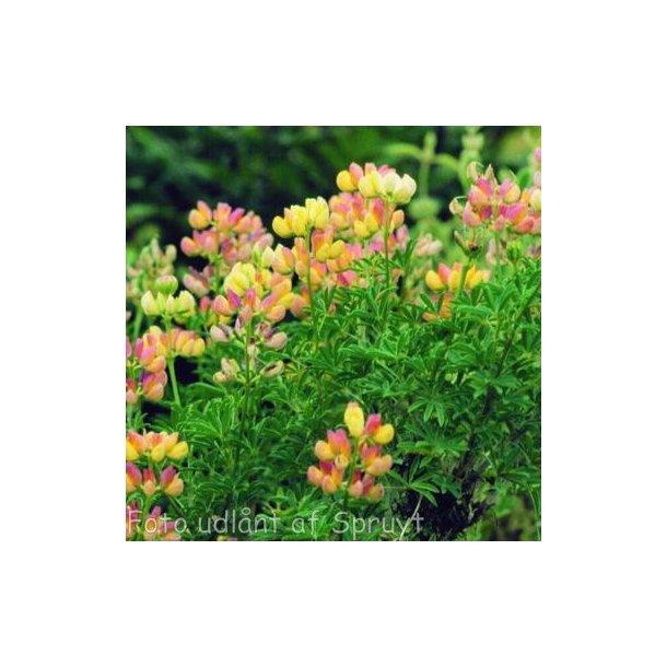 Lupinus arboreus. <br/>Trælupin