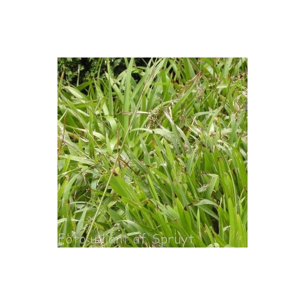 Luzula sylvatica. <br/>Stor frytle