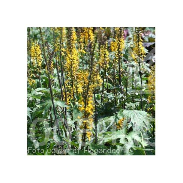 Ligularia przewalskii. <br/>Nøkketunge