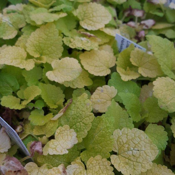 Lamium maculatum 'Aureum'. <br/>Tvetand