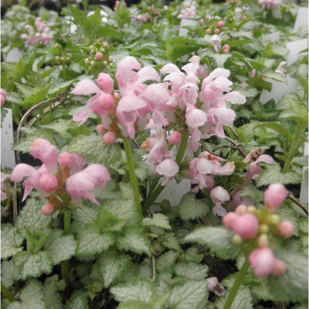 Lamium maculatum 'Pink Pewter'. <br/>Tvetand