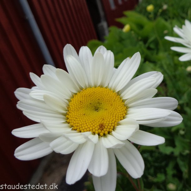 Leucanthemum superbum 'Becky'. <br/>Marguerit