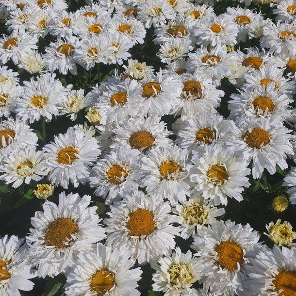 Leucanthemum x superbum 'Freak'. <br/>Marguerit