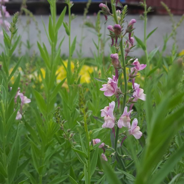 Linaria purpurea 'Dial Park'. <br/>Torskemund