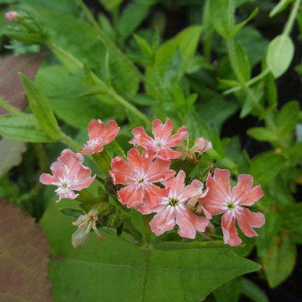 Lychnis chalcedonica 'Carnea'. <br/>Brændende kærlighed