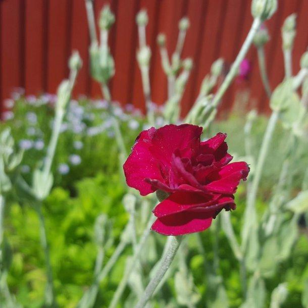 Lychnis coronaria 'Gardeners World'. <br/>Haveklinte