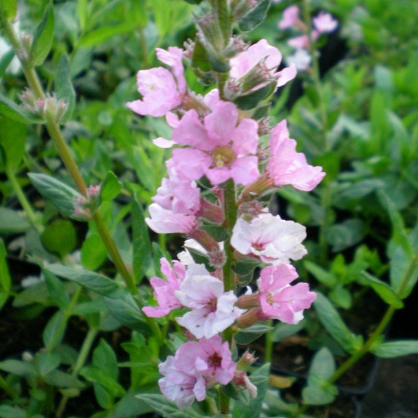 Lythrum salicaria 'Blush'. <br/>Kattehale