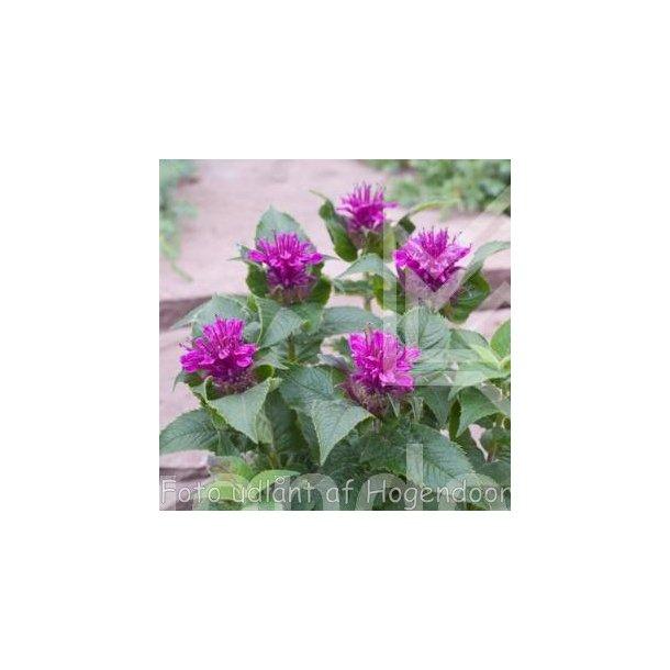 Monarda 'Purple Lace'. <br/>Hestemynte