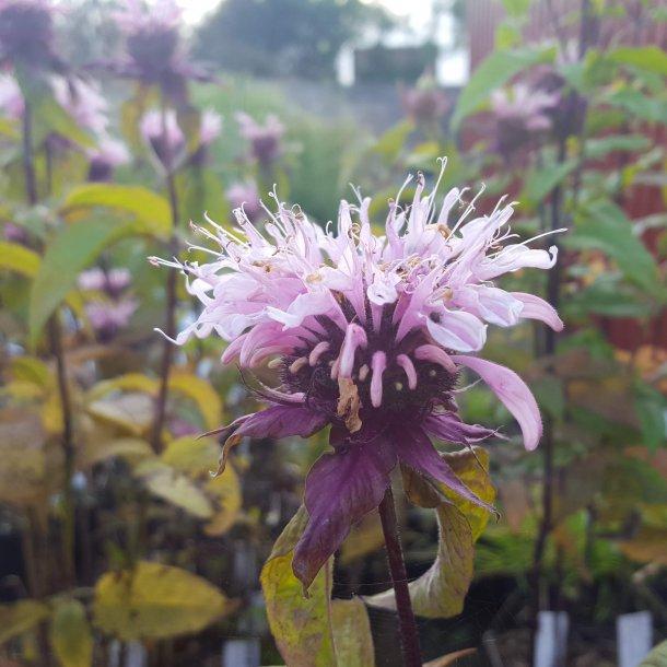 Monarda hybride 'Beauty of Cobham'. <br/>Hestemynte
