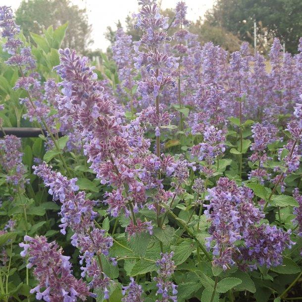 Nepeta grandiflora 'Summer Magic'. <br/>Katteurt