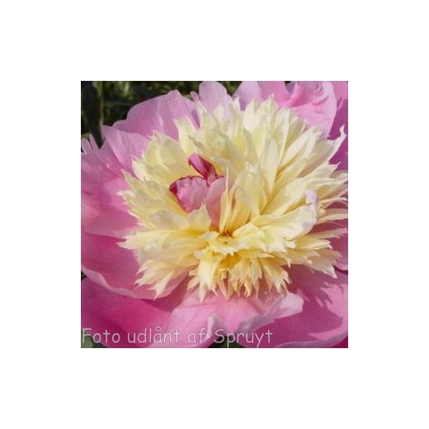 Paeonia lactiflora 'Bowl of Beauty'. <br/>Silkepæon