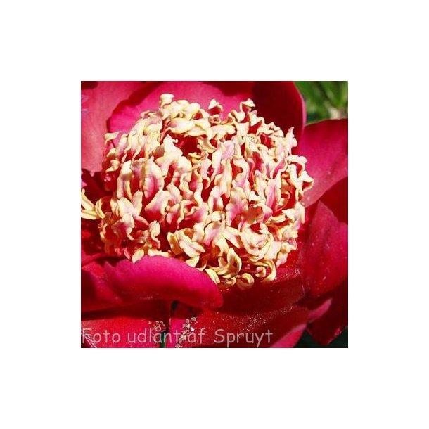 Paeonia lactiflora 'Nippon Beauty'. <br/>Silkepæon