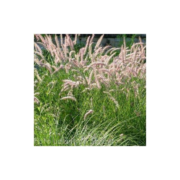 Pennisetum orientale 'Flamingo'. <br/>Lampepudsergræs