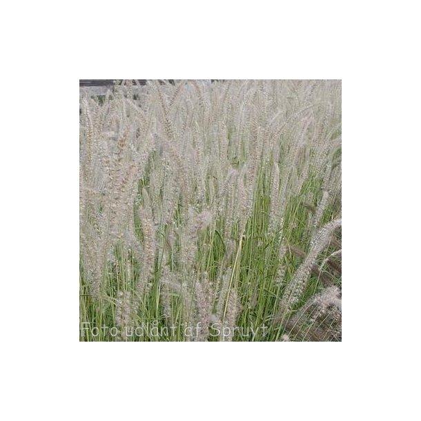 Pennisetum orientale 'Tall Tails'. <br/>Lampepudsergræs