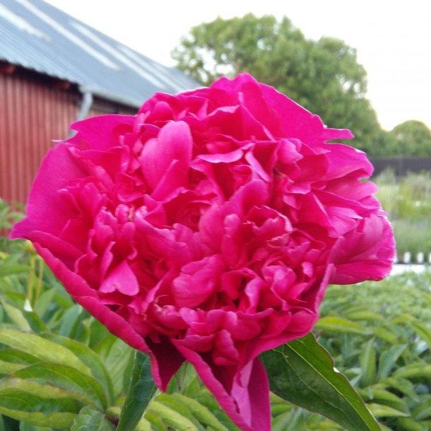 Paeonia lactiflora 'Big Ben'. <br/>Silkepæon