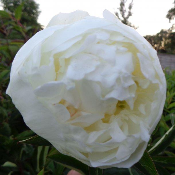 Paeonia lactiflora 'Duchesse de Nemours'. <br/>Silkepæon