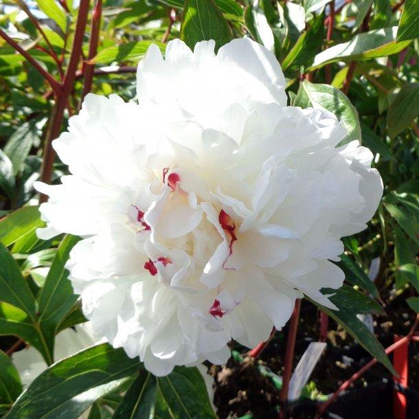 Paeonia lactiflora 'Festiva Maxima'. <br/>Silkepæon