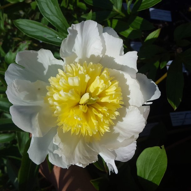 Paeonia lactiflora 'Honey Gold'. <br/>Silkepæon