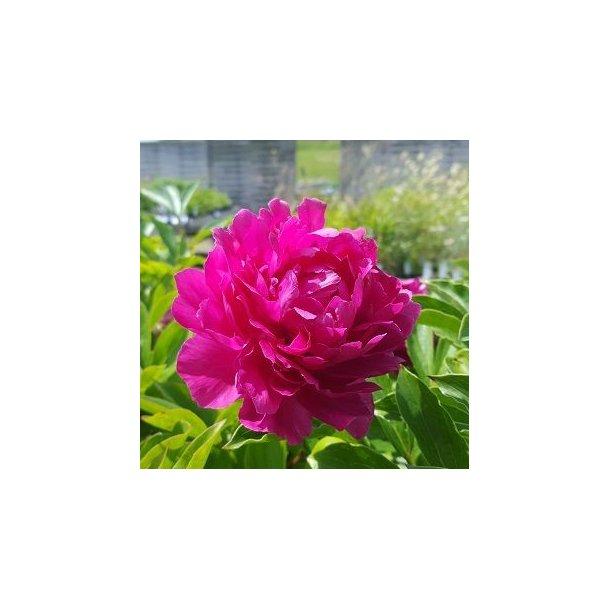 Paeonia lactiflora 'Riches and Fame'. <br/>Silkepæon