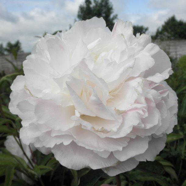 Paeonia lactiflora 'Shirley Temple'. <br/>Silkepæon