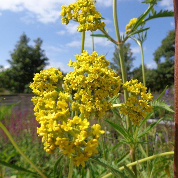 Patrinia scabiosifolia. <br/>Guldbaldrian