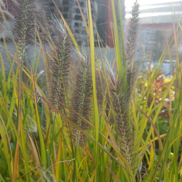 Pennisetum alopecuroides 'Red Head'. <br/>Lampepudsergræs