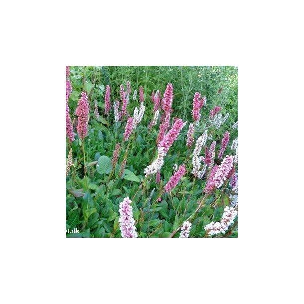 Persicaria affine 'Darjeeling Red'. <br/>Tæppepileurt